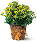 Vivid Yellow Kalanchoe Plant from Backstage Florist in Richardson, Texas